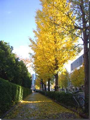 渋谷NHKの前 銀杏の落ち葉がびっしり photo by OptioS