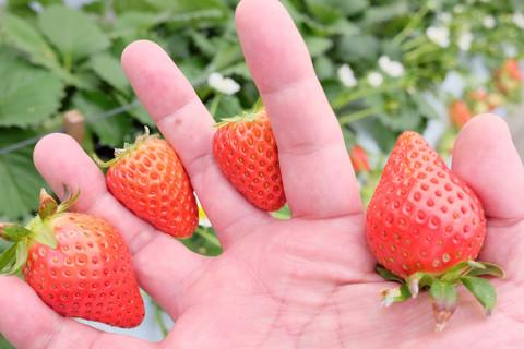 Polepolestrawberryfarm